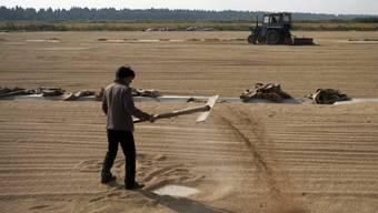 Weil China Agrarprodukte wie Reis (auf dem Bild) zu stark subventioniert, hat die USA Klage gegen das Land eingereicht. (Symbolbild)