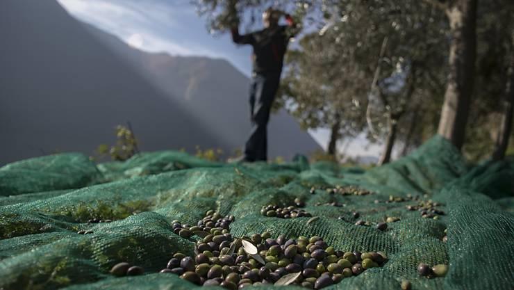 """Kantonschemiker haben die Qualität von Olivenöl """"extra vergine"""" in der Schweiz überprüft. Dabei hat sich ein Generalverdacht für Fälschungen nicht bestätigt. (Archivbild)"""