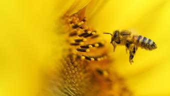 Bienen erkennen nicht, ob es sich bei einer Blume um eine mit oder ohne Pollen handelt. Sie fliegen sie an, um dann vielleicht enttäuscht zu werden.