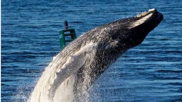 Solo-Show eines Buckelwals im Hafen von Montreal