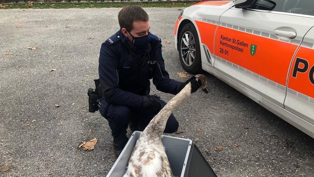 Verletzter Jungschwan aus dem Bodensee gerettet