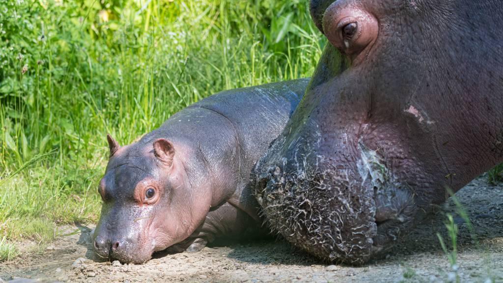 Es ist ein Mädchen! Flusspferd-Baby im Zoo Basel geboren