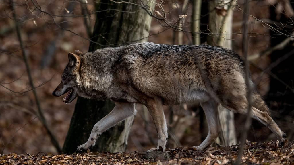 Der Wolf beunruhigt Bauernfamilie