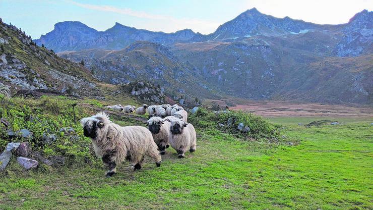 Schafe zählen auf der Alp: die Herde auf dem Weg in den Nachtpferch.