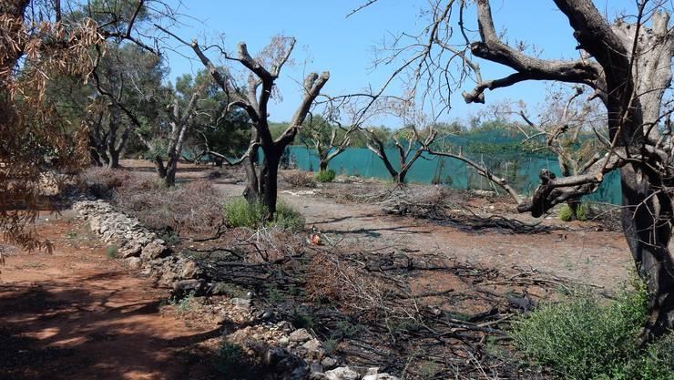 Problem in Italien: Das Bakterium Xylella fastidiosa vernichtet Olivenbäume.