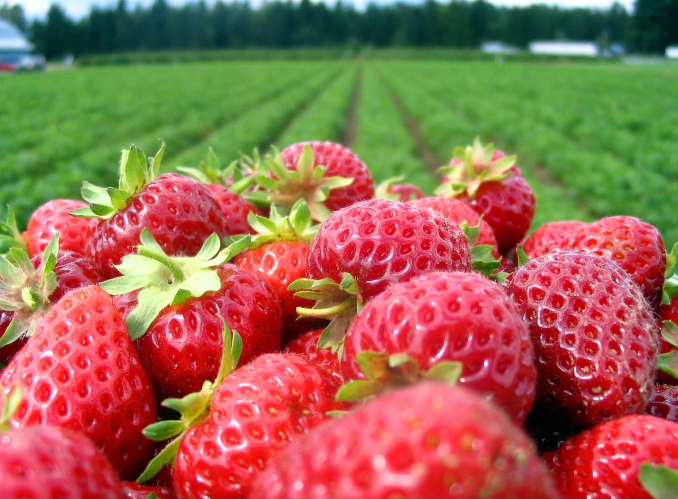 Die Erdbeerernte kann schon bald beginnen. (Bild: iStock)