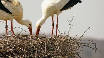 Sie sind die Stars des Kaiseraugster Storchen-TV-Senders: Papageno und Papagena in ihrem Horst.