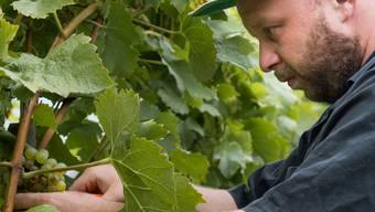 Gault-Millau-Winzer Tom Litwan und seine Helfer bei der Weinernte in Bad-Schinznach
