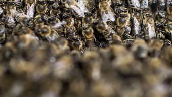 Die Staatenbildung von Insekten ist nur eine Form von Altruismus im Tierreich. Gegenseitige Hilfe muss aber nicht zwingend auf Verwandtschaft beruhen. (Archiv)