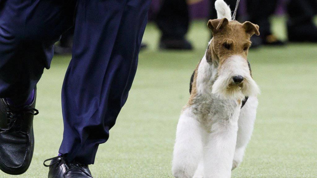 War der Schönste: der Drahthaar-Foxterrier «King» bei der renommierten Westminster-Hundeshow in New York.