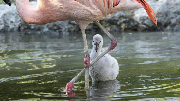 Damit Chile-Flamingos Eier legen, müssen verschiedene günstige Faktoren zusammentreffen.
