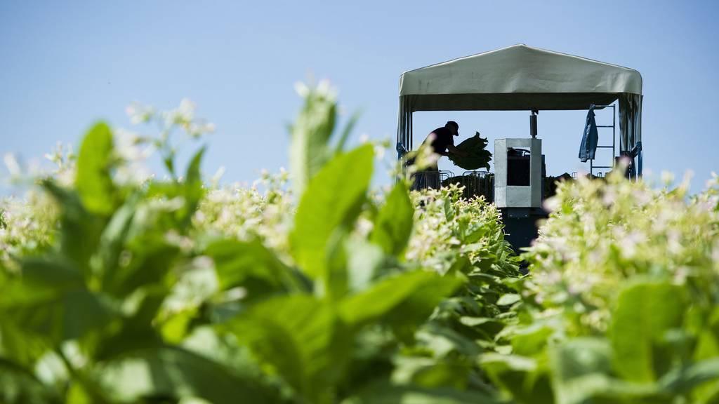 Weshalb sich Tabak-Anbau für Schweizer Bauern lohnt