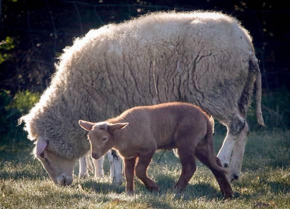 Lamm ist 173 Prozent teurer.