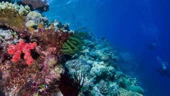 Die Artenvielfalt von Riffen wie dem Great Barrier Reef hat eine Entstehungsgeschichte von über 100 Millionen Jahren.
