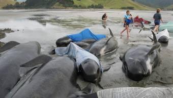 An Neuseelands Küste stranden immer wieder Wale, wie hier in Colville Bay auf der Nordinsel. (Archivbild)