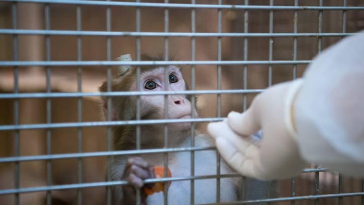 Hinter Gitter: Ein Rhesus-Affe mit einem Implantat.