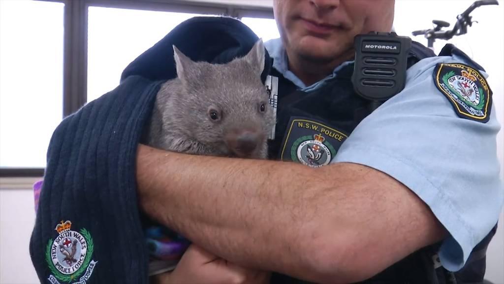 Der süsse Wombat «Ted» wurde als neuer Rekrut aufgenommen