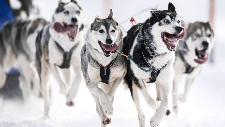 Verkehr in Grönland: unterwegs mit den Schlittenhunden anstatt dem Auto.