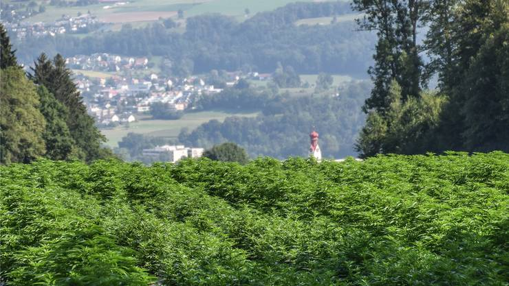 Dieses Jahr werden im Reuss- und Bünztal 75 Hektaren Hanf angepflanzt, wie hier bei Niederwil. Die einen mögen den Geruch, die anderen eben nicht.