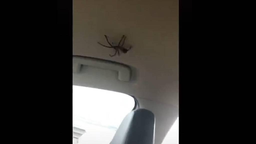 Riesenspinne krabbelt ins Auto und fährt mit Familie zur Hochzeit