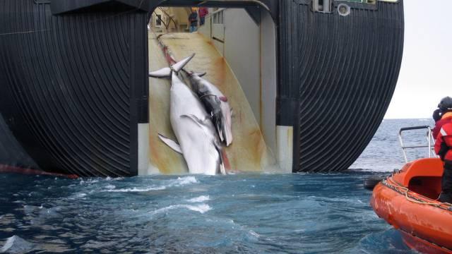 Australien will japanische Walfänger mit Flugzeugen überwachen.
