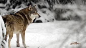 Haben Wölfe eine gewisse Zahl an Nutztieren gerissen, geraten sie ins Visier der Behörden (Symbolbild)