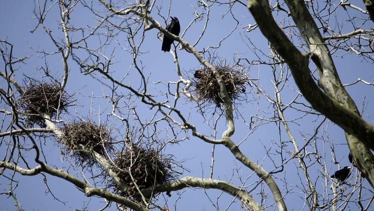 Unter lautem Gezeter bauen die Saatkrähen auch dieses Jahr im Kreuzackerpark ihre Nester. Anwohner, Barbetreiberinnen und Werkhofmitarbeiter reagieren gelassener als auch schon.