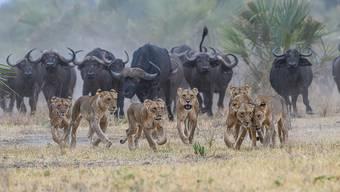 Die Löwen wollten angreifen, aber die Büffel kommen ihnen zuvor.