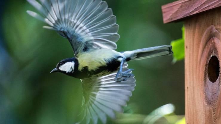Kohlmeise auf Futtersuche. Sie und andere Vogelarten passen ihre Brutzeiten dem Klimawandel an und brüten früher im Jahr. Allerdings nicht früh genug - Forscher sind besorgt. (Archivbild)