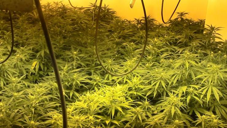 HANDOUT - Das von der Guardia Civil zur Verfügung gestellte Bild zeigt Marihuana-Pflanzen, die bei einer Razzia gefunden wurden. Foto: Guardia Civil/dpa - ACHTUNG: Nur zur redaktionellen Verwendung im Zusammenhang mit der aktuellen Berichterstattung und nur mit vollständiger Nennung des vorstehenden Credits