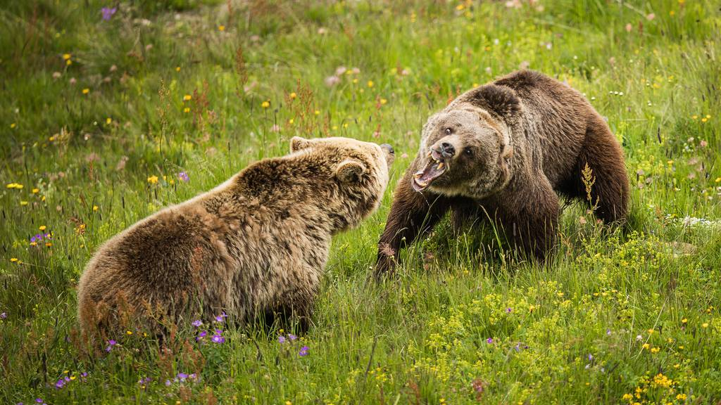 Rangkampf beim ersten Treffen der Bärenweibchen
