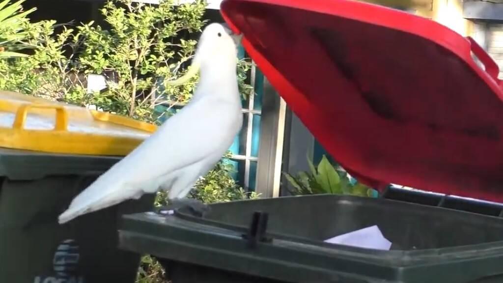 Studie: Kakadus lernen das Öffnen von Mülltonnen voneinander