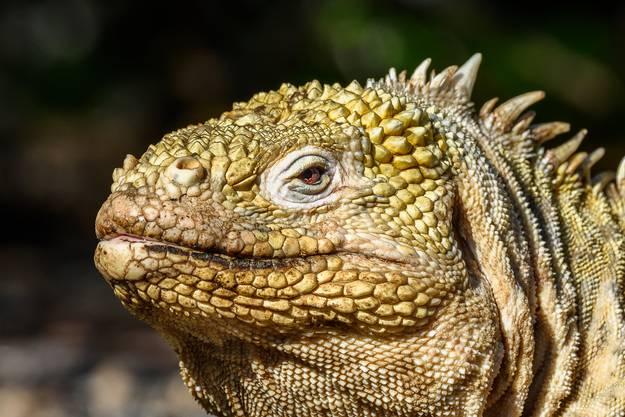 Auf den Galápagos-Inseln leben die Drusenköpfe.