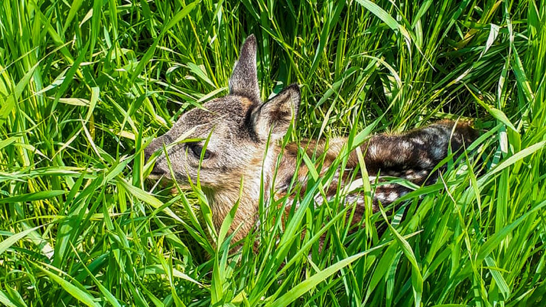 Rehkitze kommen heute etwa drei Tage früher zur Welt als vor 50 Jahren. Doch die Frühlingsvegetation beginnt heute etwa 20 Tage früher.
