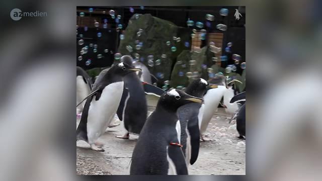 So viel Spass haben Pinguine an Seifenblasen