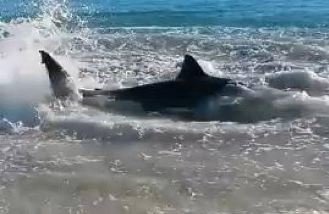 Der Hai wurde an die Küste gespült, heftig zappelnd (Bild: YouTube)