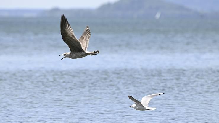 Eine Lachmöwe fliegt am Ufer des Bielersees einer schreienden Mittelmeermöwe hinterher.