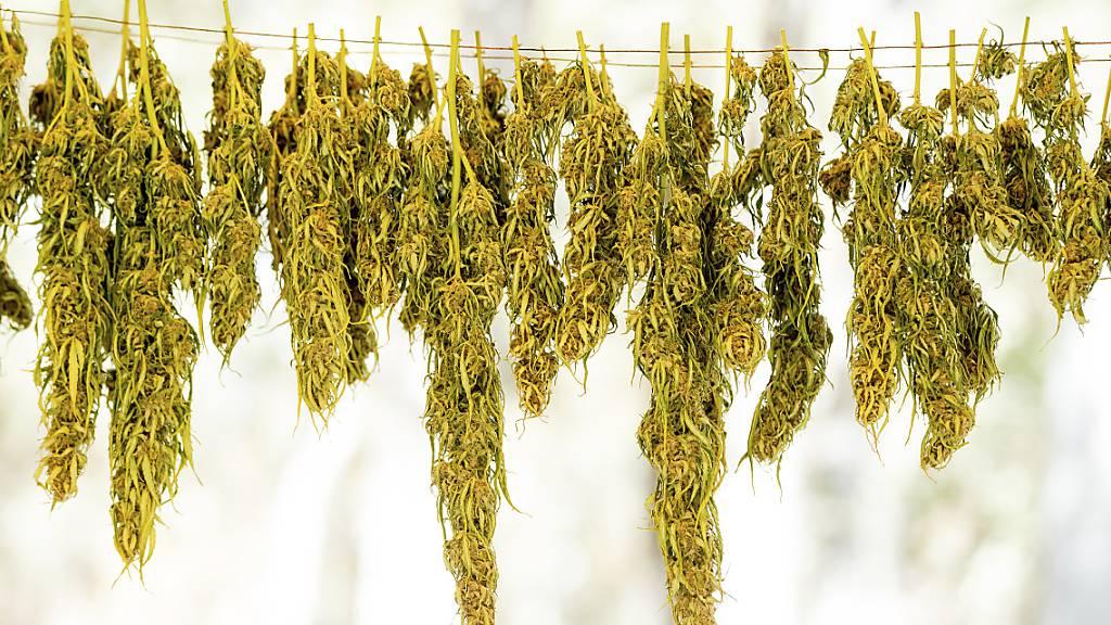 Glarner Polizei schnappt drei Marihuana-Grosshändler
