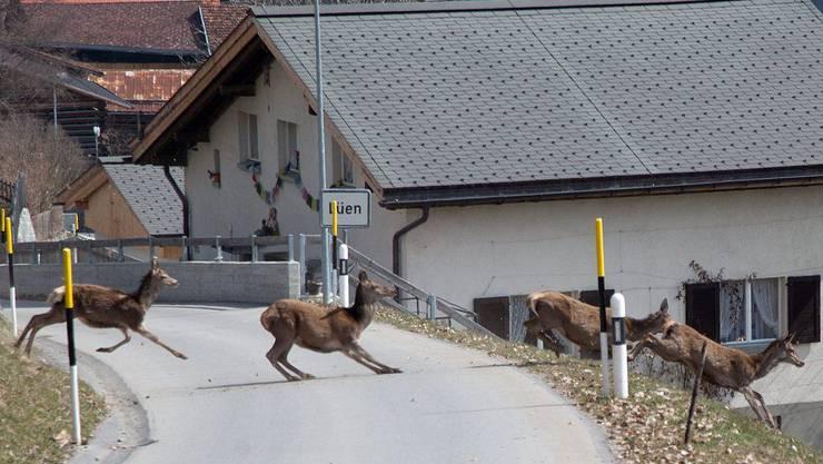 Im Galopp über die Strasse: Hirschkühe rennen über die Strasse in Richtung Tal
