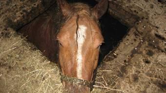 Pferd aus Jauchegrube gerettet