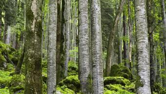 Eine Buche bindet ungefähr 125 Kilogramm CO2 pro Jahr.