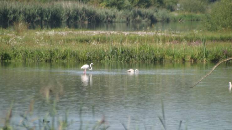 Seit Freitag leben neun Flamingos beim Flachsee südlich von Bremgarten