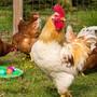 Für die Hühnerhaltung war das Gehege zu klein, stellte das Veterinäramt fest. (Symbolbild)