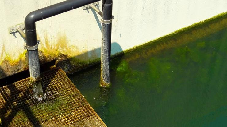 Grüne Plage: Algenwachstum in einem Nachklärbecken der Abwasserreinigungsanlage Im Blettler in Wohlen-Anglikon.
