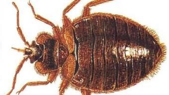 Die Wanze ist ein nicht nur lästiger, sondern auch gesundheitsschädigender Bettgenosse. In Frankreich vermehrt sich das Insekt in letzter Zeit so stark, dass sich die Regierung des Problems annimmt. (Archivbild)