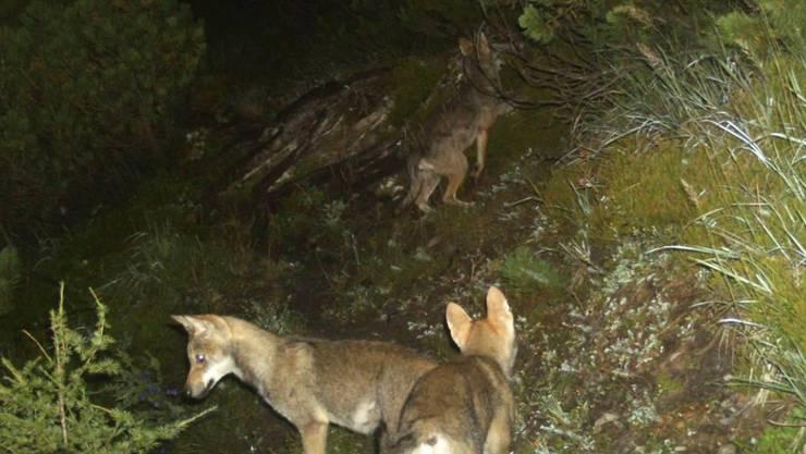 Die wachsende Zahl von Wölfen beunruhigt die Bündner Regierung. Im Rudel am Calandamassiv bei Chur gibt es regelmässig Nachwuchs (Archivbild).