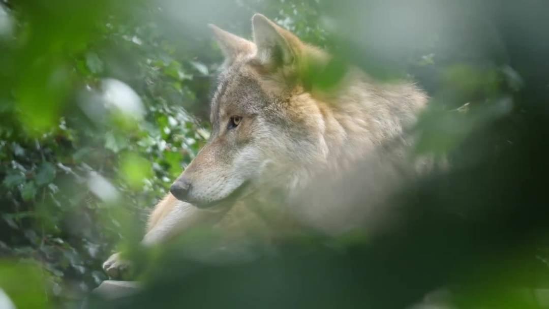 Der Zoo Zürich präsentiert seine Wölfe