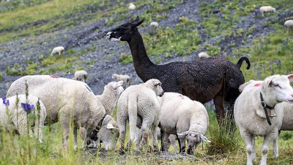Lama mit Hirsch verwechselt: Verbot der Hobbyjagd gefordert