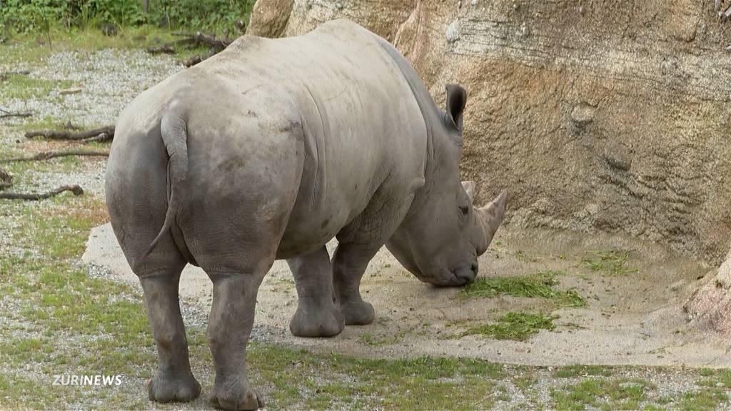 Erhaltungsprogramm: Nashornbulle Kimba darf bald im Zoo Zürich für Nachwuchs sorgen