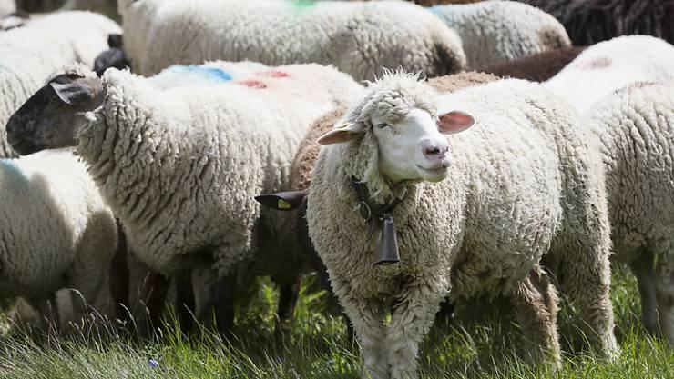 Schwer mitgenommen von einem Gewitter auf einer Alp im Kanton Schwyz wurde eine Schafherde Ende Juli. (Symbolbild)